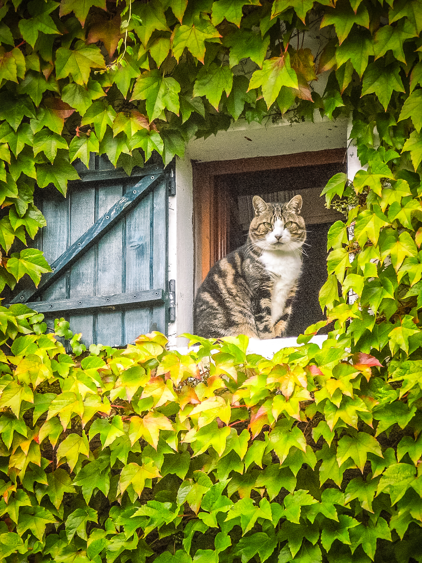 A Tortoiseshell coloured cat sits in a small square window (with a Greeny Blue Wooden Shutter) in a house which is covered in Ivy.