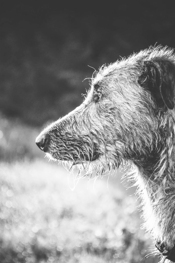 Willow Wooluff, an Irish Wolfhound, surveys the horizon looking for something to chase, a true hunter!