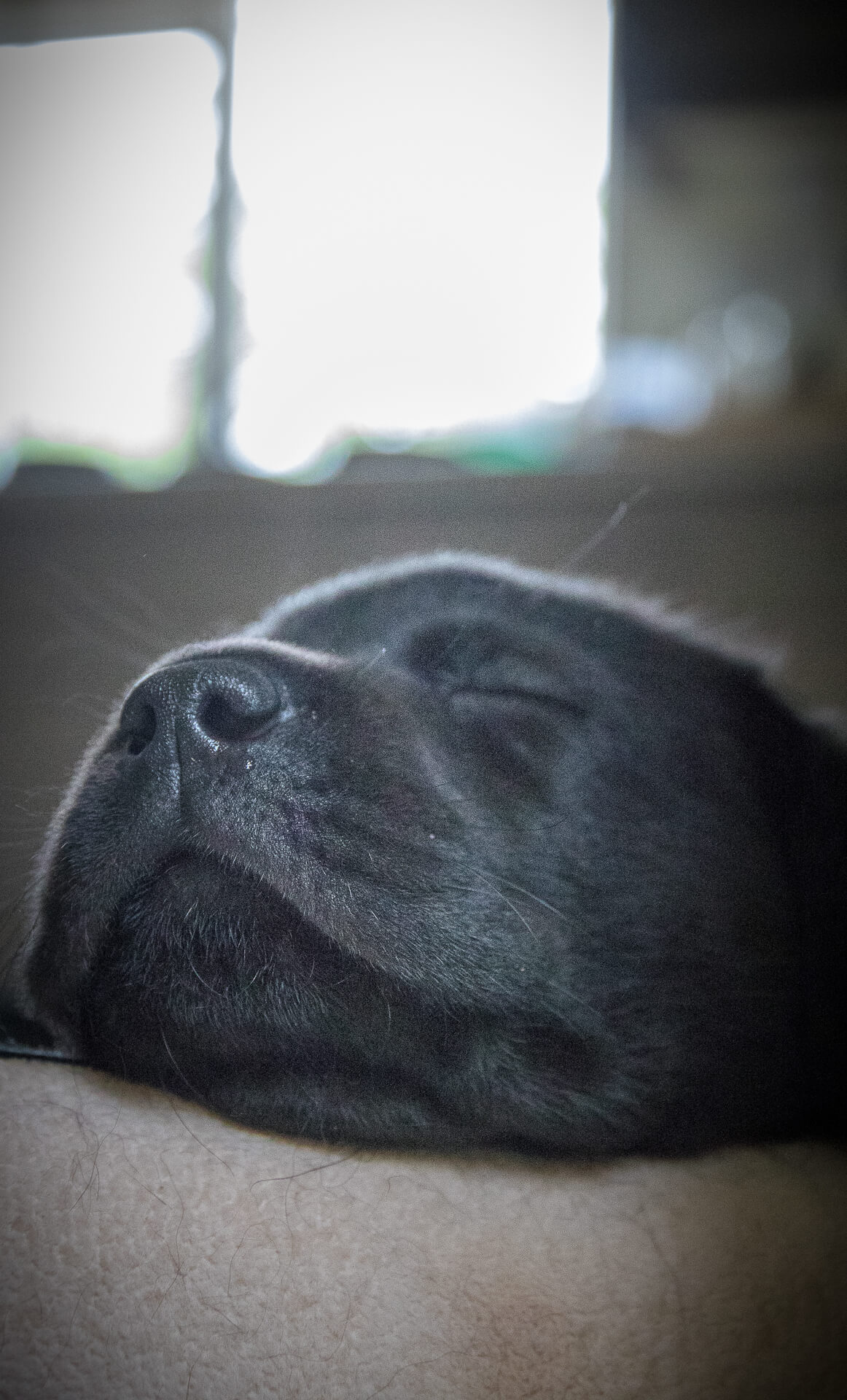 Close up picture of the head of a Black Labrador puppy.