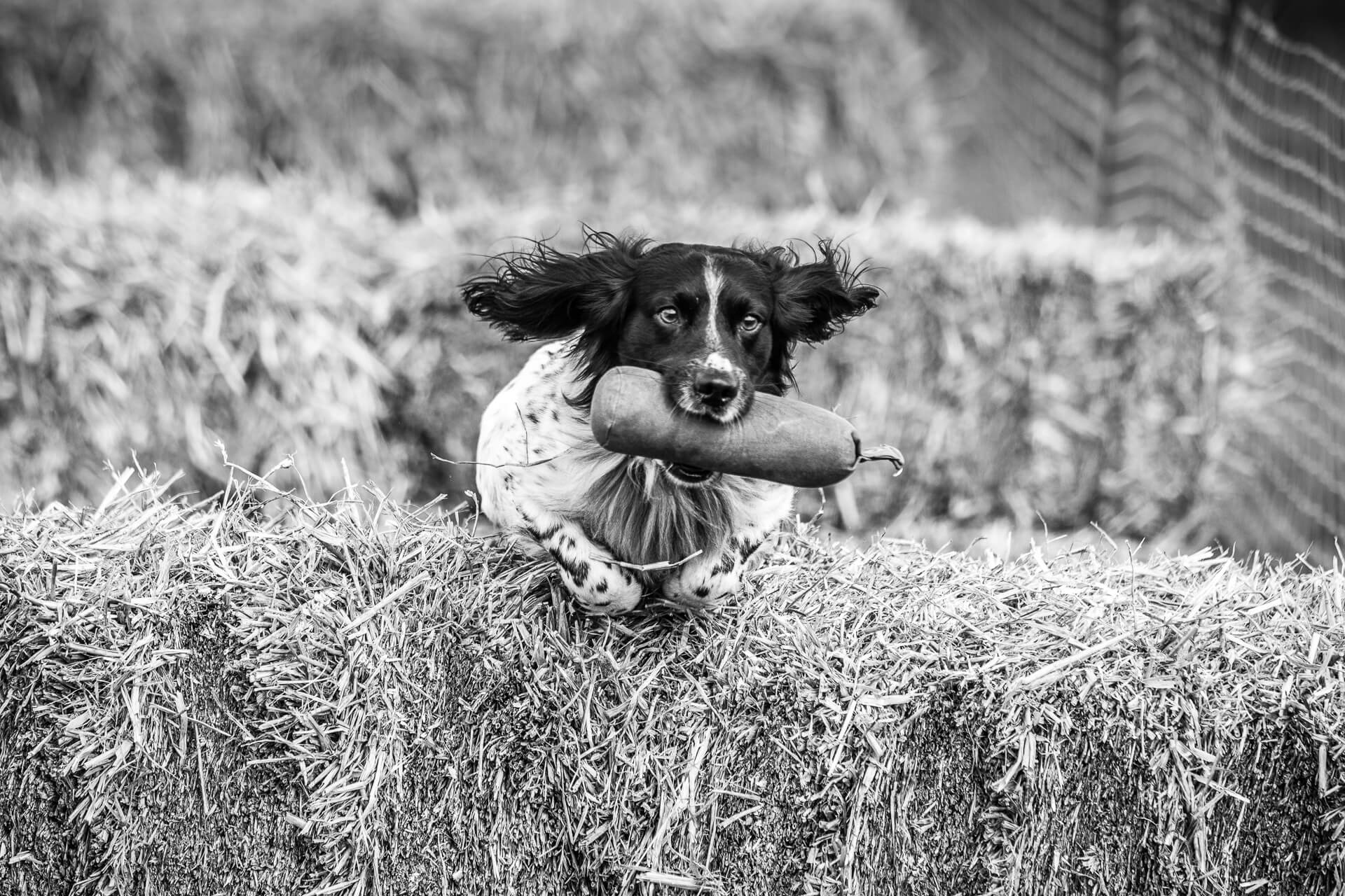 A close up black & white image of a Spaniel as he jumps a hay bale on the 'retrieve' phase of a gun dog competition at the 3 Counties Show Ground, Malvern. He is completely focussed on his mission, his ears fly out flat and his legs are tucked up underneath his chest as he jumps the bale obstacle, he has a 'dummy bird' grasped firmly in his mouth.