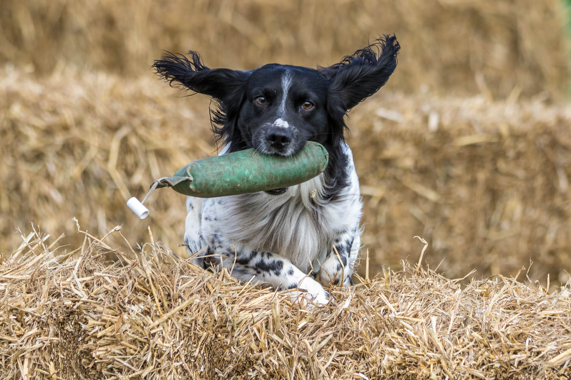 A close up colour image of a black & white Spaniel whose ears are out flat, his legs are tucked under him, and who has a 'dummy bird' grasped firmly in his mouth as he jumps a hay bale on the 'retrieve' phase of a competition at the 3 Counties Showground, Malvern.