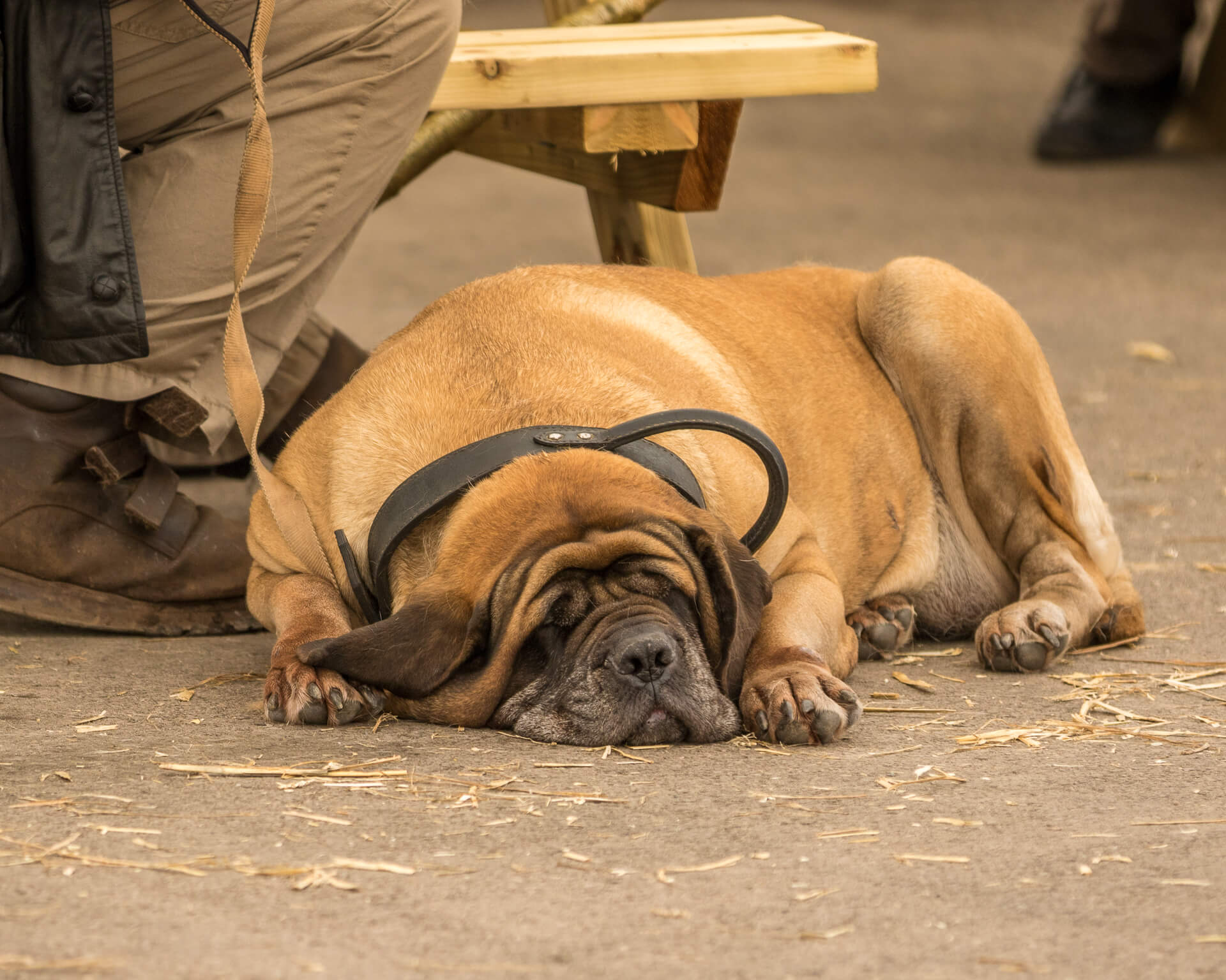 A rather overweight light Brown coloured Mastiff type of dog lays sleeping. He wears a substantial leather collar as lays on a concrete floor. His owner sits next to him on a wooden bench.