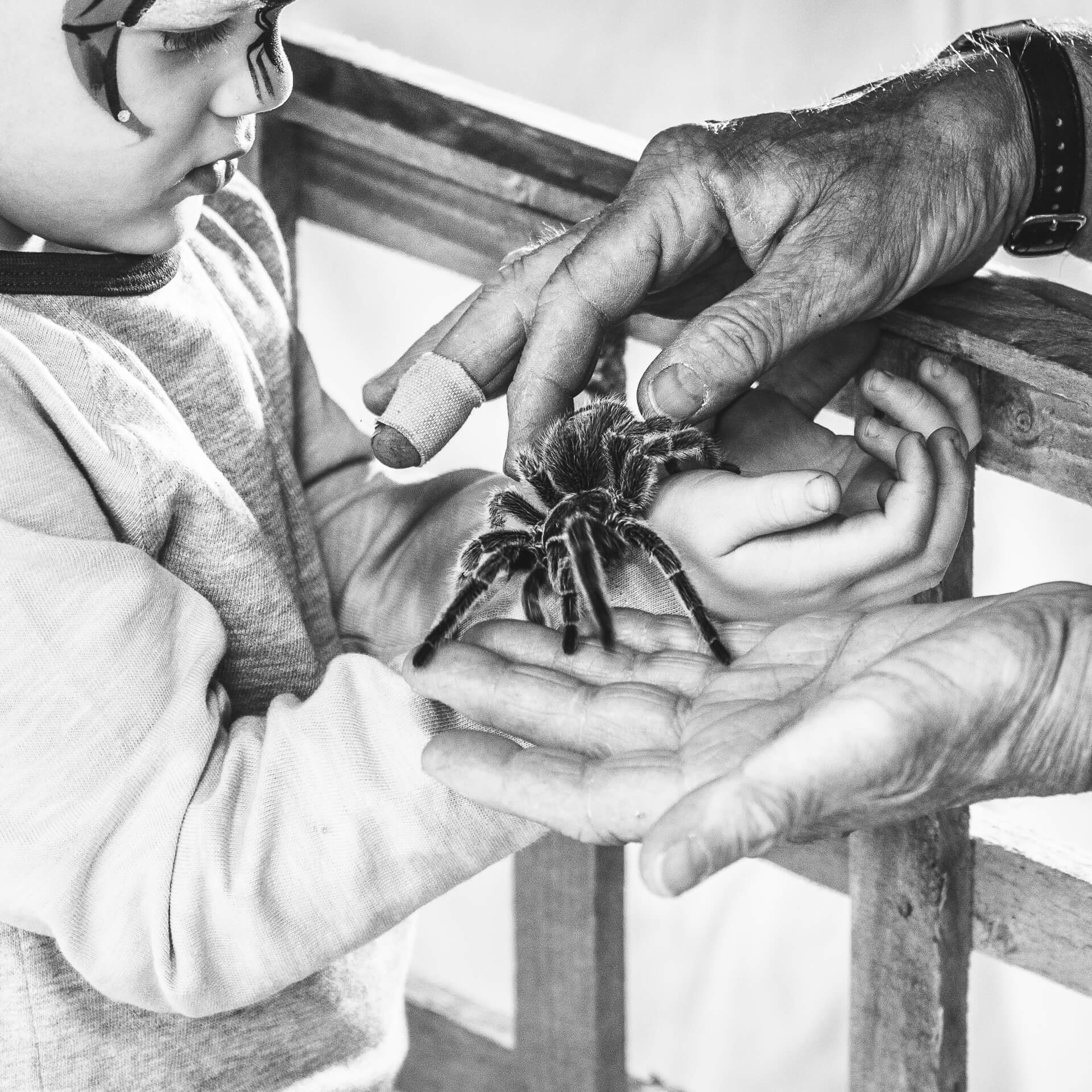 A close up black & white image of a full grown tarantula spider being placed into the outstretched and cupped hands of a young boy as he stares intently at the creature.