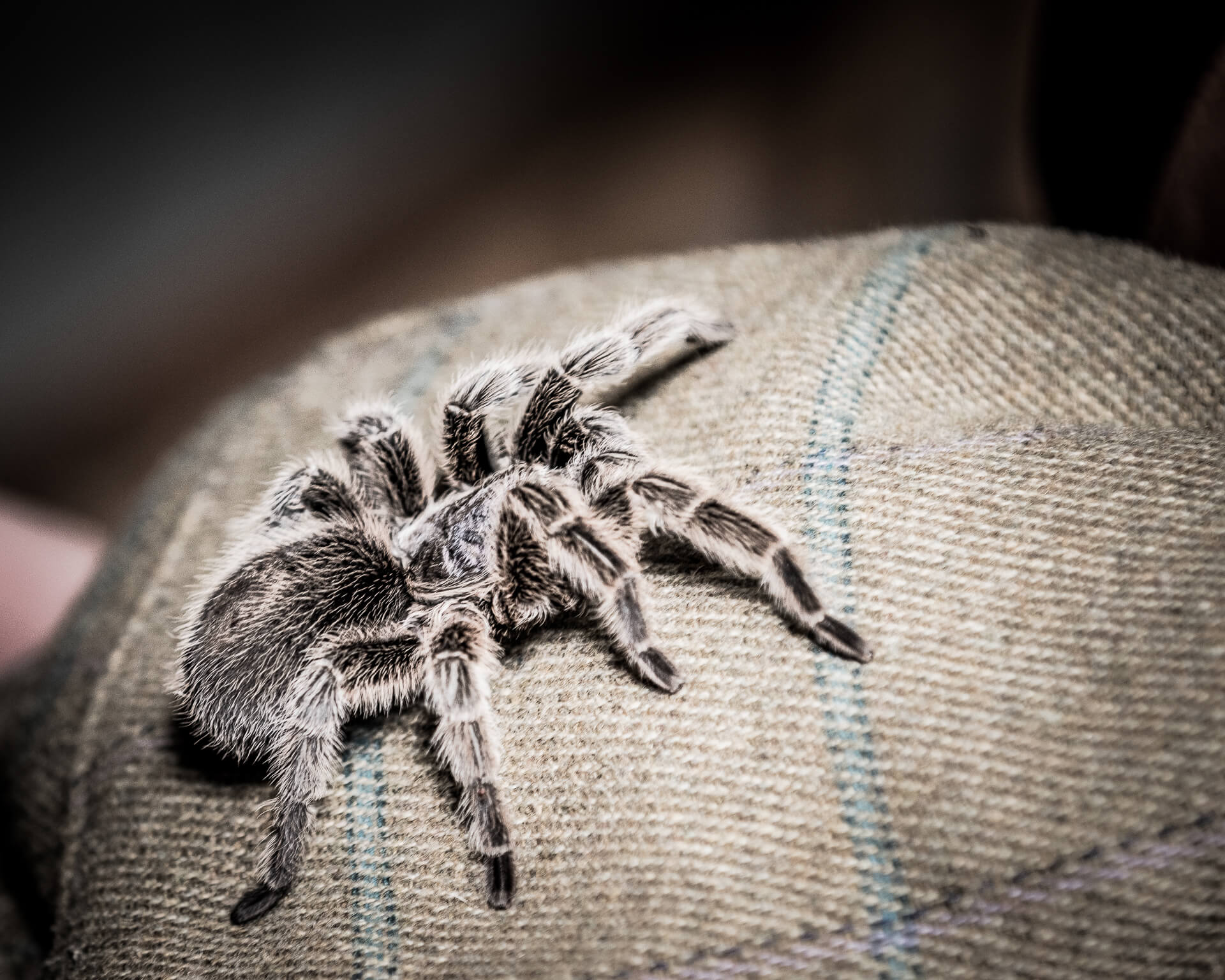 A close up coloured image of a tarantula spider as it walks up and onto the shoulder of a Gentleman at the Game Show at the 3 Counties Showground, Malvern.