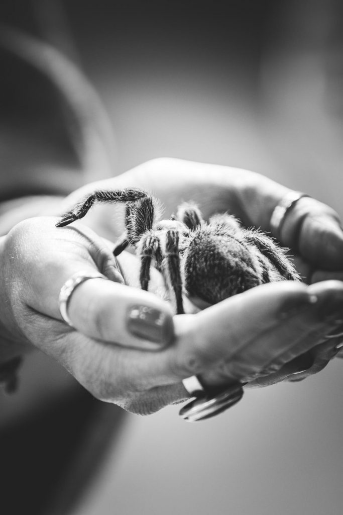 A Black & White image of a tarantula spider in the cupped outstretched hands of Tania.
