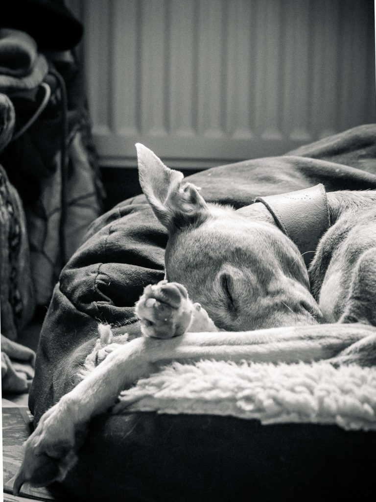A Black & White image of a sleeping Hound. He has his paws crossed and a wayward ear which appears to be cocked, but seems only to give that impression as it has flopped backwards. He wears a substantial leather collar.