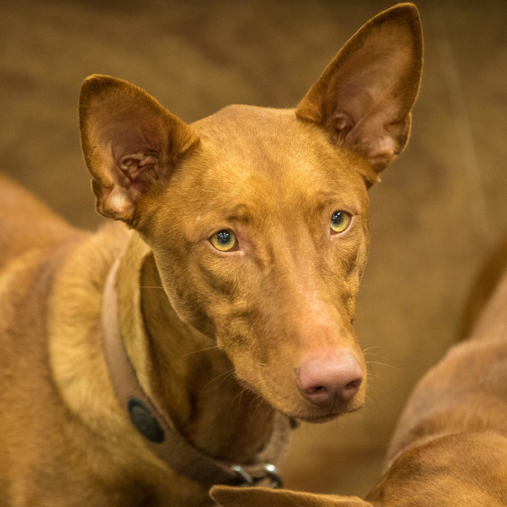 A head & shoulders image of a Pharaoh Hound. He is of typical colouring for the breed. Pharaoh Hounds can 'smile'. Their ears turn pink in colour when they are happy or embarrassed.