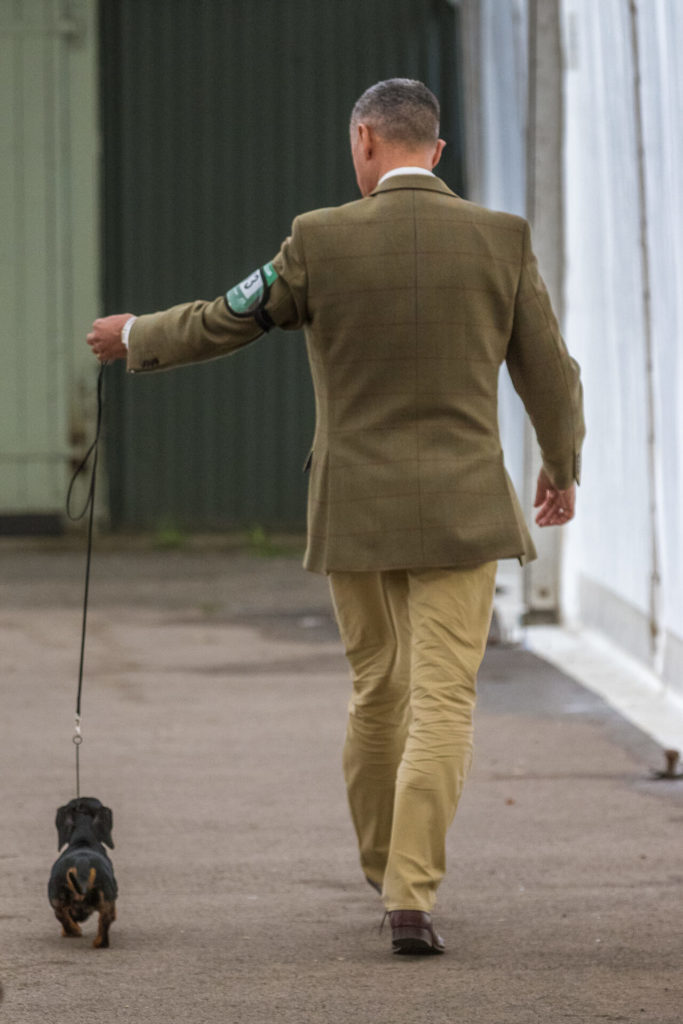 A Miniature Dachshund walks on a show lead. He is seen walking away from the camera (along with his handler) during preparations prior to going into the show ring.