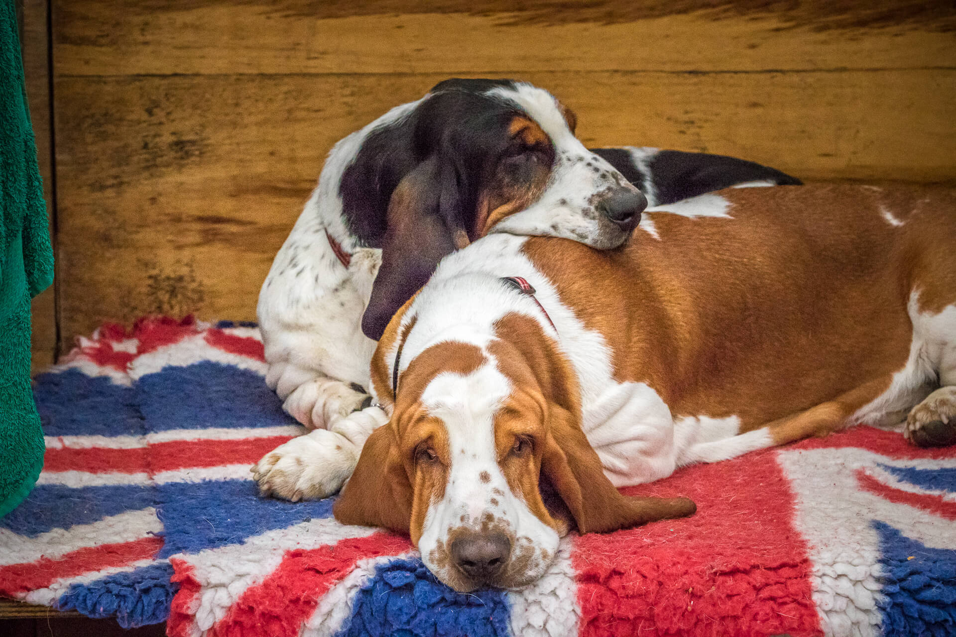 Two Basset Hounds lay sleeping on a Union Jack rug in a show crate. One is Liver and white, and the other is Black & White. The Black & White one has its head resting on the others back.