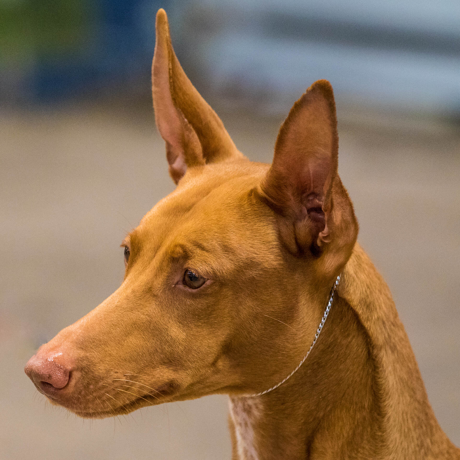 A close up head shot of a very alert Pharaoh Hound as he waits to go in the show ring. He wears a silver 'Snake Chain' style show collar.