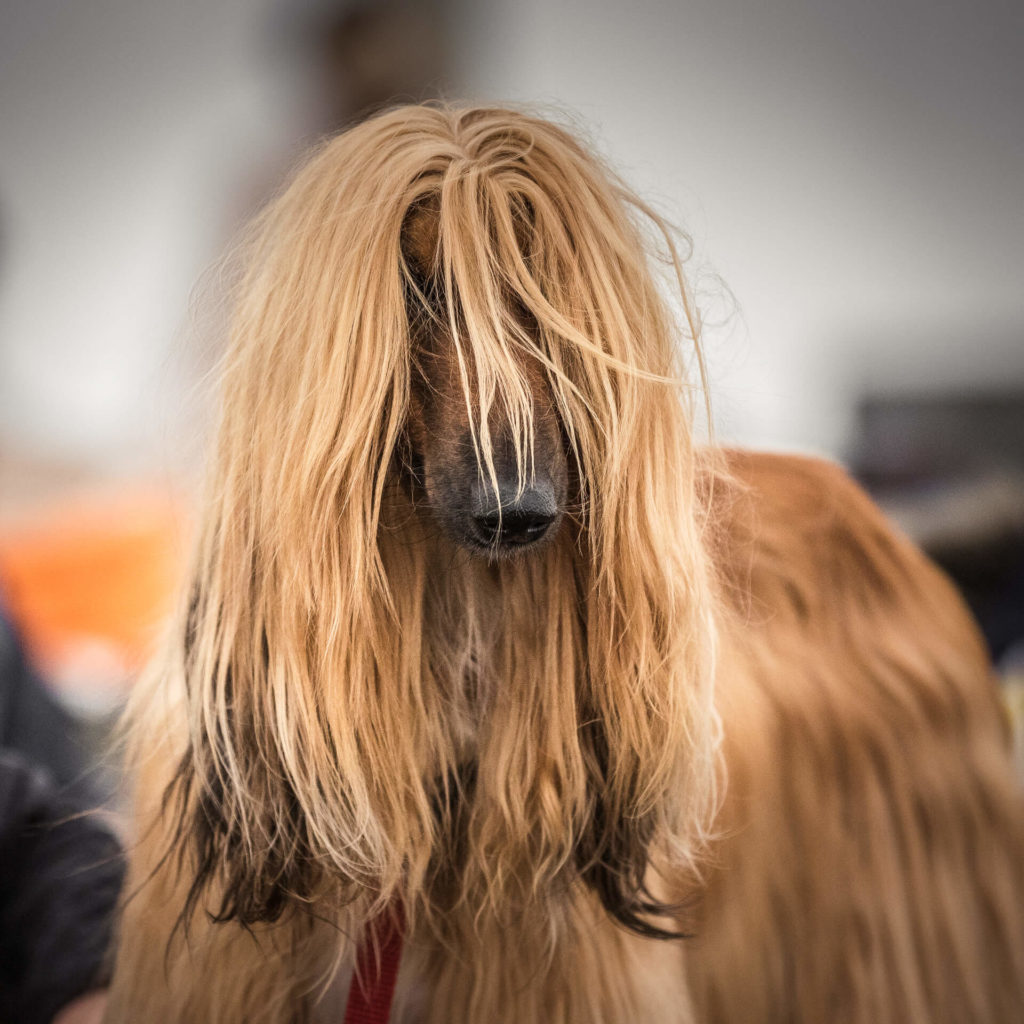 A head & ears image of a brushed Afghan Hound waiting to go into the show ring. Her black nose sticks out from the long hair.
