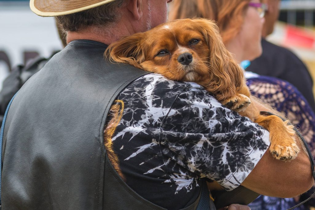 A photograph of a small ginger coloured dog with long flappy ears is carried along in their owners arms.