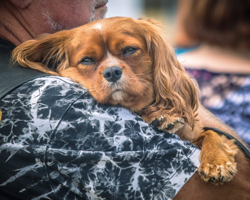 A small ginger coloured dog with long ears is carried in their owners arms.