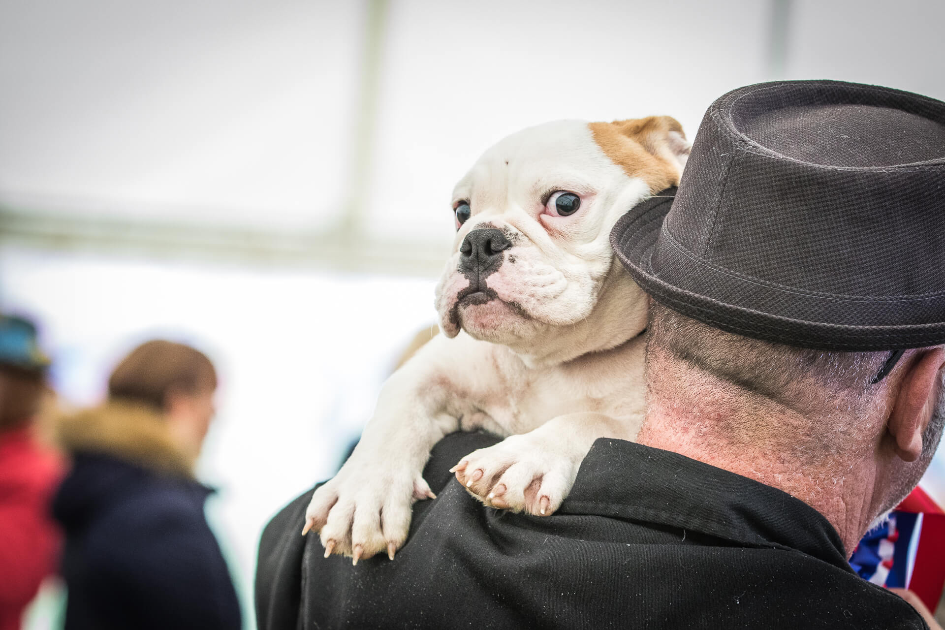 A small Bulldog stares at the camera as he is carried on his owners shoulder. He is white in colour, and sports a light brown ear.