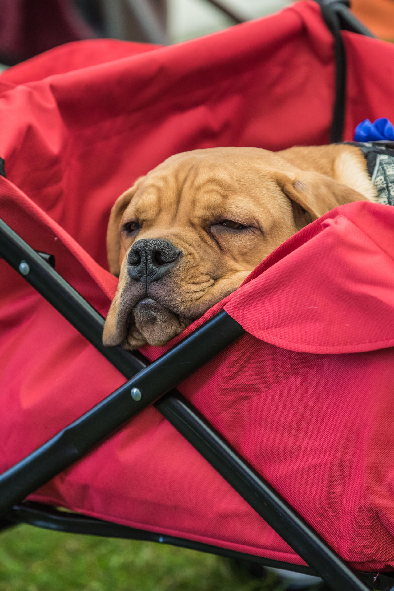 A Mastiff type puppy lays asleep in a festival type trolley. He appears to be completely oblivious to his surroundings and all the noise.