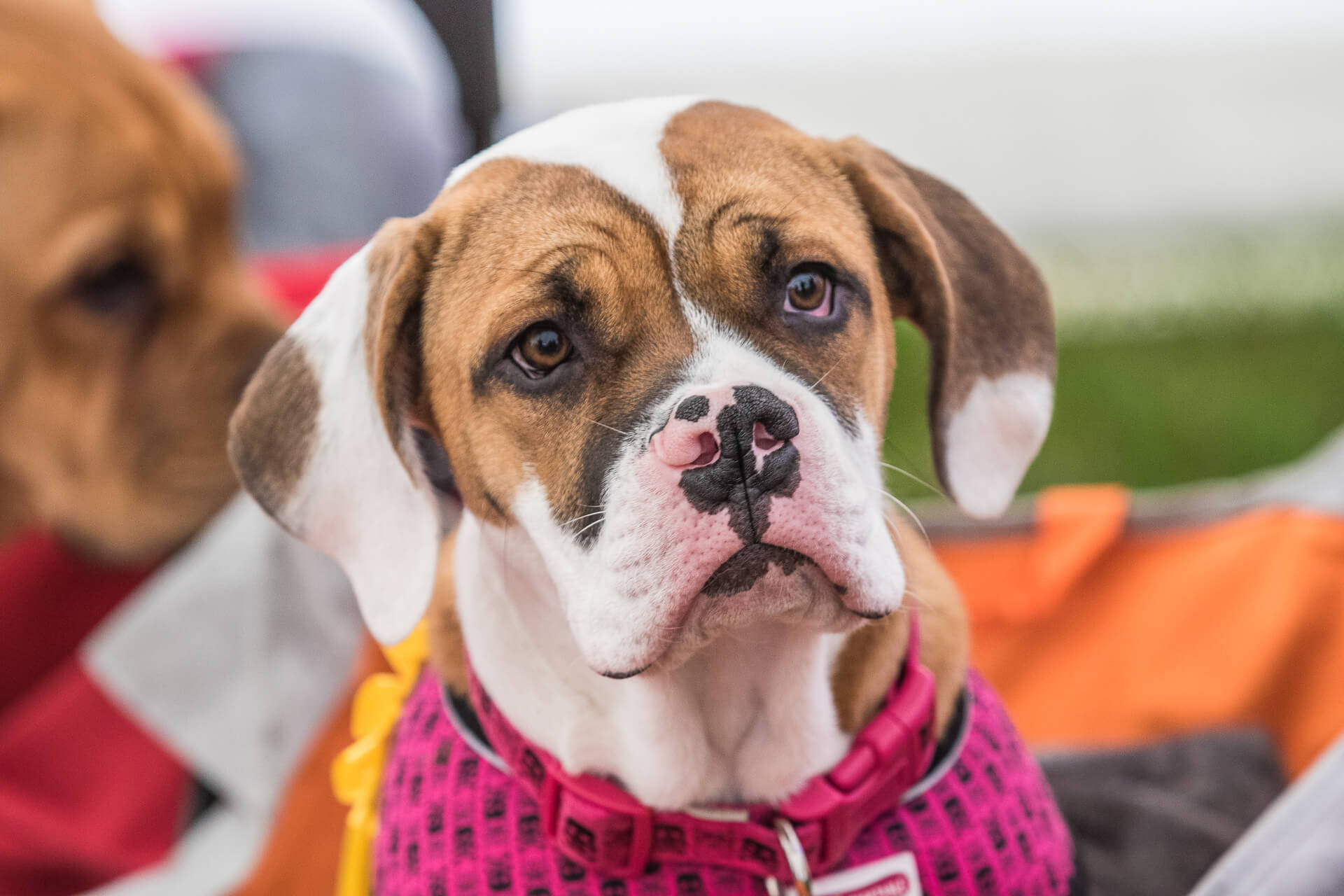 A close up colour image of a Boxer puppy. She has a Liver & White coloured head & ears with a mottled black & pink coloured nose. She wears a pink collar, and also a pink coloured coat.