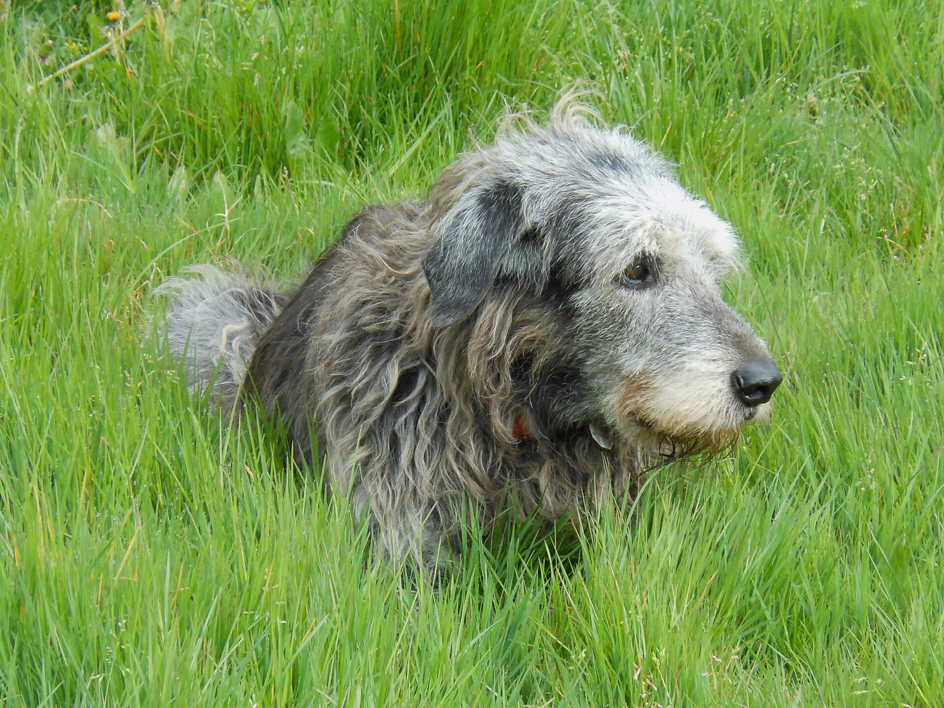 Mr Foobers, an old age Irish Wolfhound lays in long grass surveying his domain.