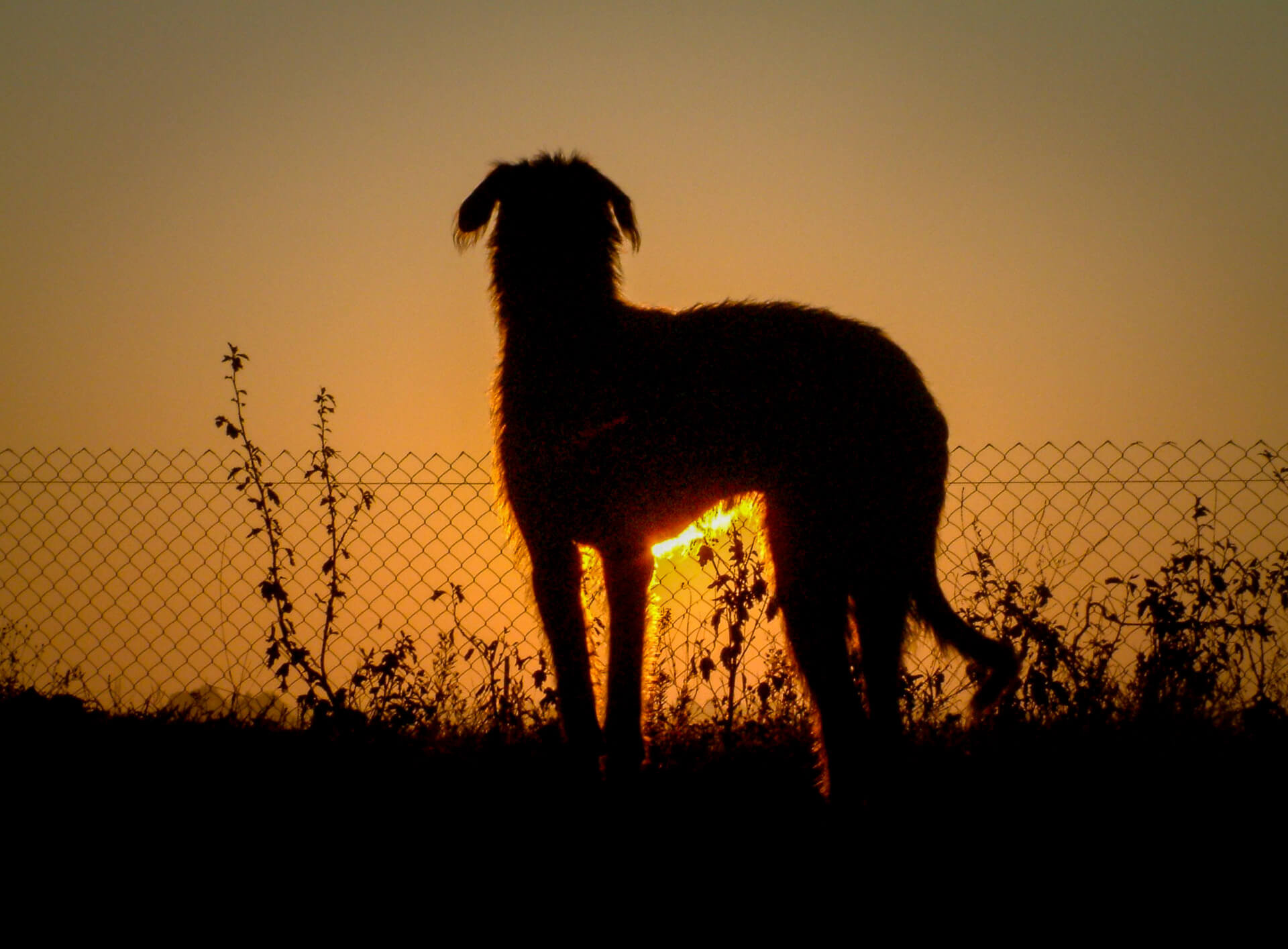 A picture of Dexter Wooluff, an Irish Wolfhound, pictured in silhouette looking over a low fence at the sunrise.