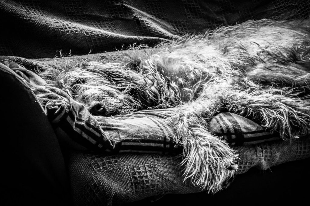 Cleo, an Irish Wolfhound, sleeping, laid out full length on a quilt on 'her' settee.