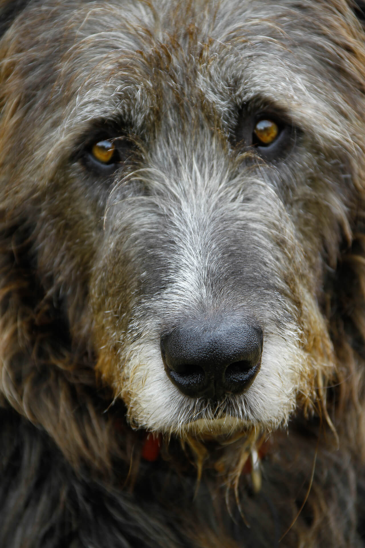 Close up picture of Dexter Wooluffs face. Dexter was a Beautiful Black Irish Wolfhound with a Huge Soul, he died in 2017 aged 9.