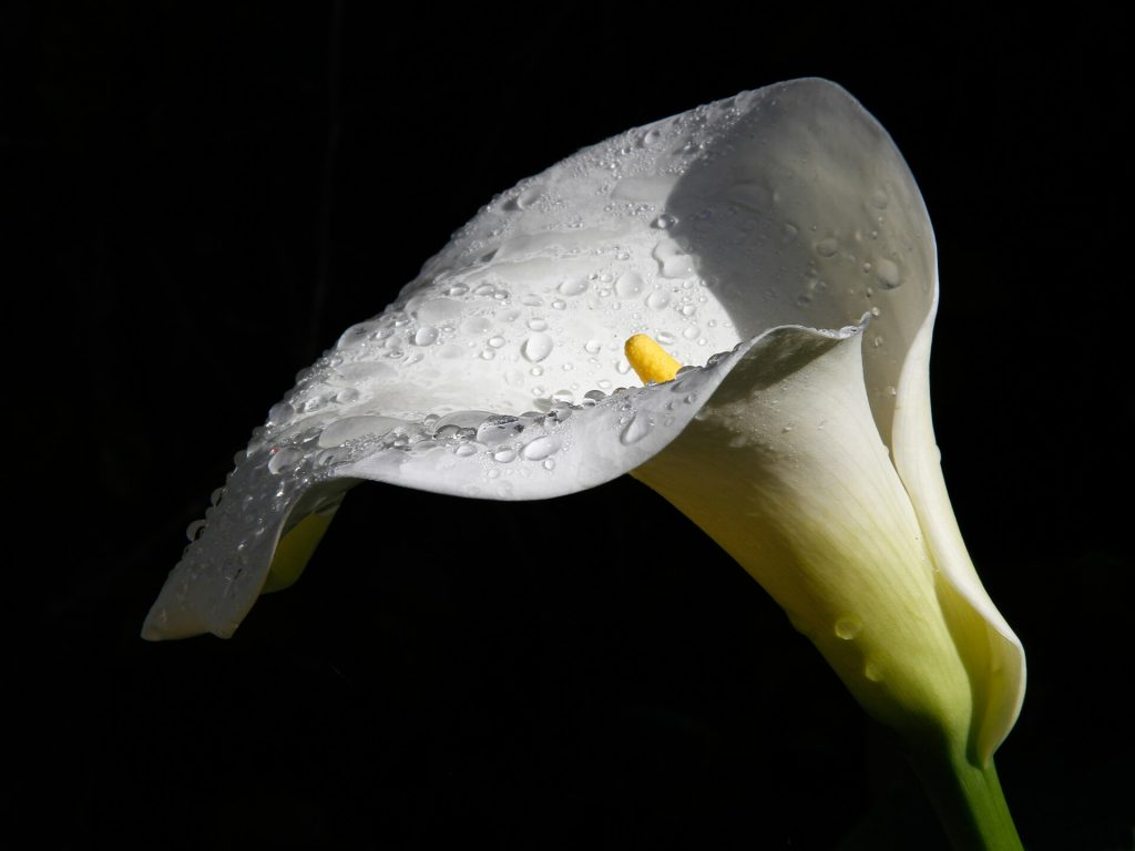 Seen against a completely black background is this colour image of a beautiful Calla Lily (Zantedeschia aethiopica) with rain droplets on the flower head.