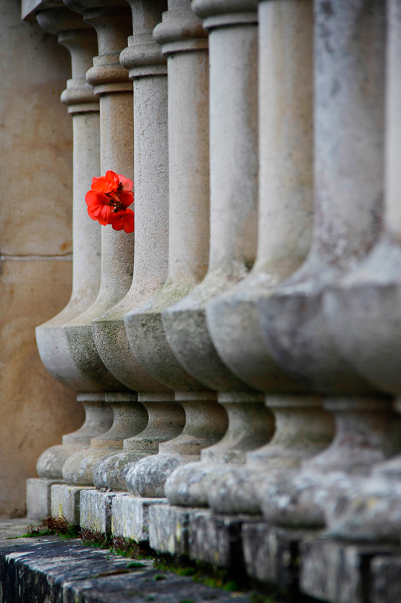 An arty farty colour image of a red Geranium as it pokes out inbetween a row of small rounded concrete balustrades that form a balcony.