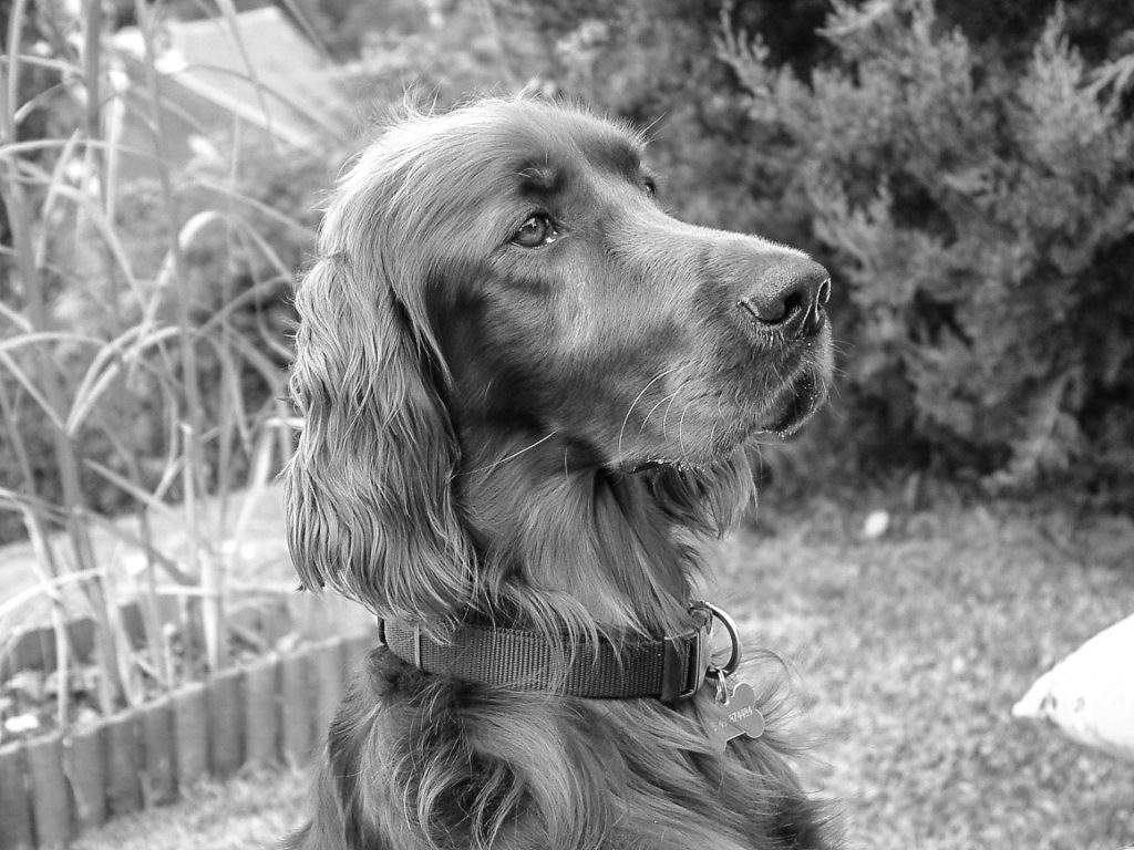 A Black & White picture of Stanley Wooluff, a beautiful Irish Setter staring intently ahead.
